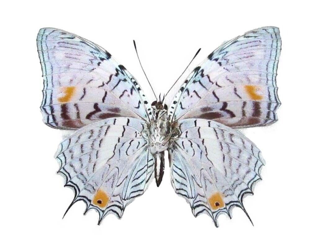 ONE REAL BUTTERFLY PERUVIAN BAEOTUS JAPETUS PAPERED UNMOUNTED WINGS CLOSED