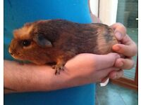 Female guinea pig 5 months old