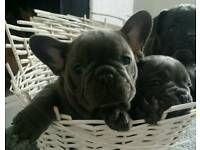 Massive blue French Bulldog puppy ready to leave