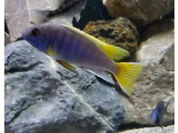 Malawi Yellow Tail Acei group