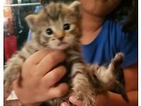 Rare bengal baby kitten