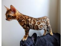Bengal Rosetted Kitten 5 months old