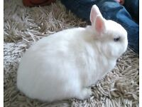 Netherland Dwarf Adults