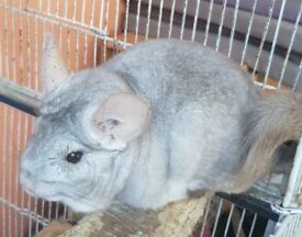 Two chinchillas for sale