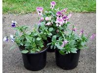 Winter Flowering Viola's Assorted Colours in 1Lt Pots