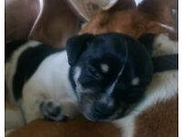 Male Black and White Jack Russell Puppy