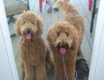 WTB Medium/big poodle mix