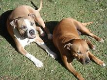 Staffy couple for adoption (Free to loving family) Aubin Grove Cockburn Area Preview