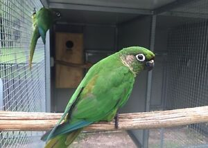 Maroon Bellied Conures breeding pairs Tallai Gold Coast City Preview