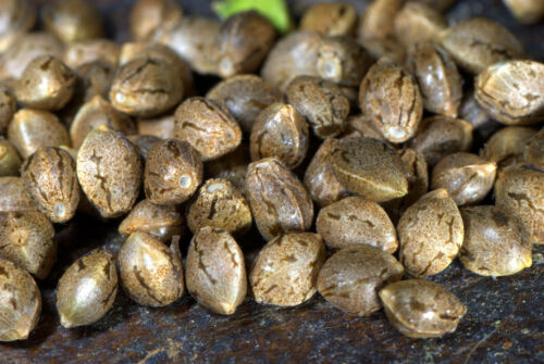 10 Gorilla Glue Seeds Top Shelf Grade A Bird Feed Hemp Seeds