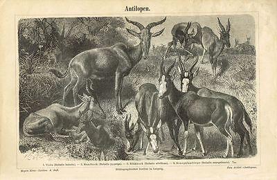 Tafel ANTILOPEN 1885 Original-Holzstich