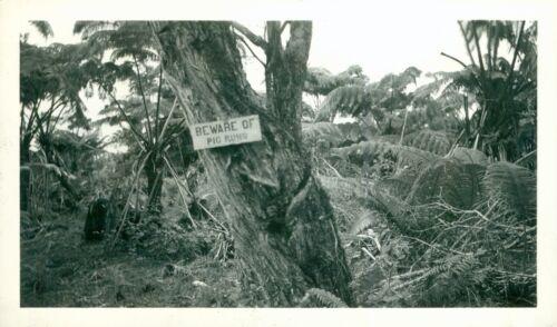 1930s Big Island Hawaii Photo sign BEWARE of Pig Runs
