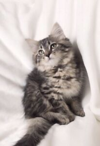 Adorable Hypoallergenic Siberian Kittens Available
