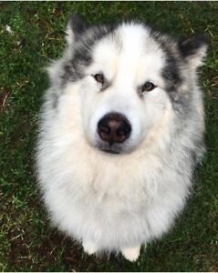 Free malamute to good home | Dogs & Puppies | Gumtree Australia