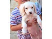 Gorgeous White Cavapoo Puppy - 10wks old