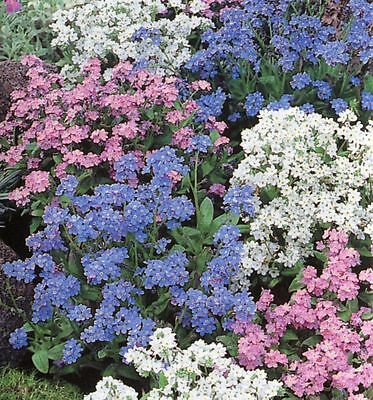 FLOWER FORGET ME NOT MYOSOTIS ALPESTRIS MIXED 1.5 GM ~ 2200 SEEDS