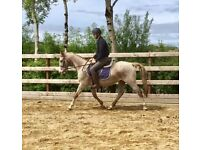 Very safe and quiet ex trekking gelding 150cms 10yo