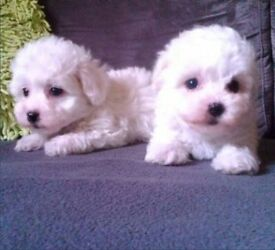 Bichon Bolognese dogs for sale