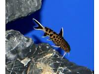 Petrocola dwaf catfish F1