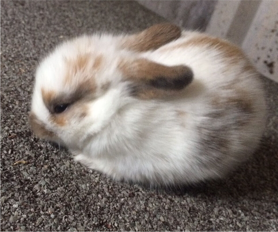 Lionhead bunnies for sale