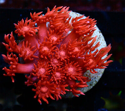 Hot Pink Goniopora Live Coral WYSIWYG - $29.00