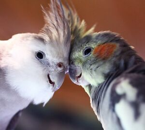 Looking to buy one or two baby/young cockatiels!