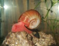 Red Ramshorn Snails (Freshwater) 20 for $5
