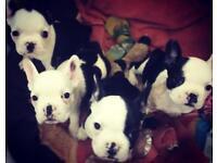 French bulldog x Boston terriers