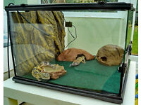 Two Leopard Geckos with tank and accessories