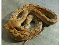 Sunfire het albino reticulated python