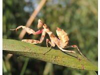Creobroter gemmatus Flower mantis pair !
