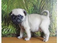 Kc registered pug puppies various colour