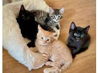 2 FEMALE Black BSH/Bengal Mix Kittens for sale
