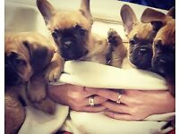 Stunning fawn French bulldog puppies for sale