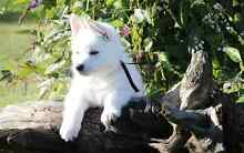 White Swiss Shepherd Puppies Scarsdale Golden Plains Preview