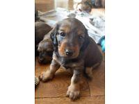 KC registered Dachshund puppies