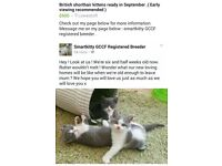 British shorthair kittens ready in September. ( Early viewing recommended ) £ 600.00