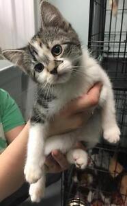 """Baby Female Cat - Domestic Short Hair-Tabby: """"Gibbler"""""""