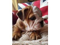 Kc reg British bulldogs