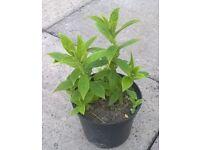 Inula hookeri plant