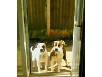 American bulldog puppies