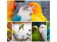 Top Lovebirds for sale