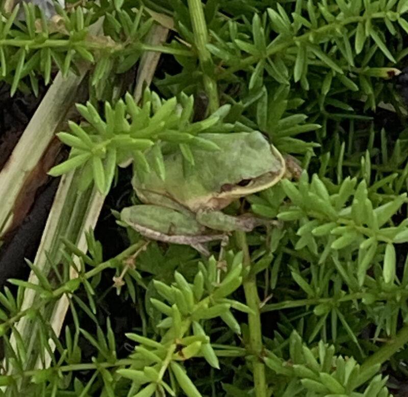 """🐸""""Live"""" Green Tree Frogs 1"""" For Aquarium Or Terrarium Pet"""