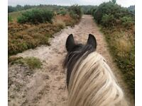 Bow 15.3hh cob mare available for part loan/share in Arborfield - Berkshire