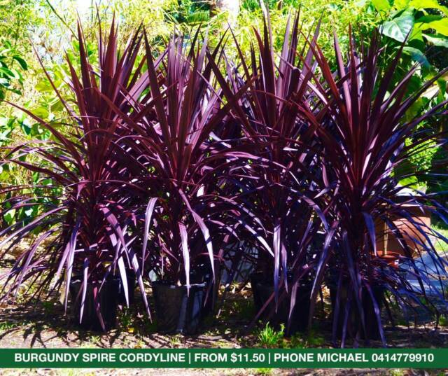 Cordyline Plants On Sale Stunning Burgundy Spire