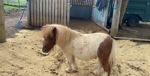 2 year old mini colt