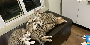 African wildcat hybrid mix kittens