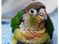 HAIND RAISD IBABY PARROT FOR SALE
