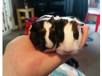 2 baby guinea pigs and their mum