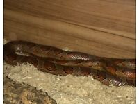 Corn snake for sale male